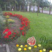 Роза Мандаринка