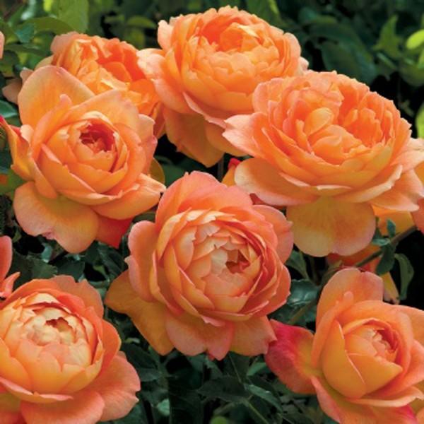 Роза Пет Остин