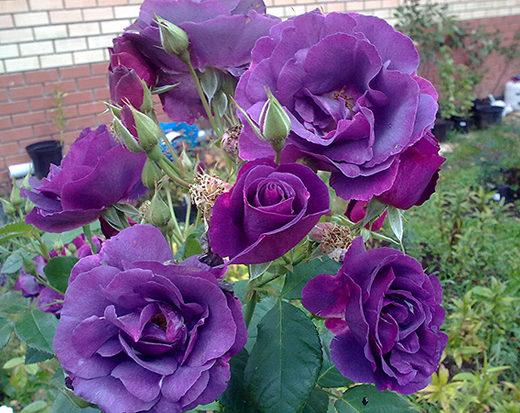 shop243 1 520x413 Саженцы роз недорого