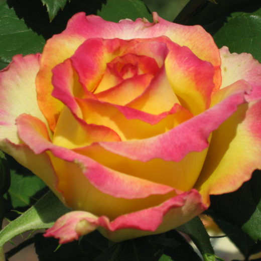 Роза  Конфетти