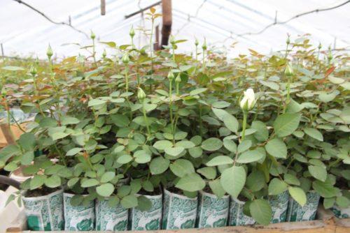 IMG 3141 500x334 Саженцы роз в Краснодарском крае