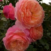Роза Прикс п.ж.редуте