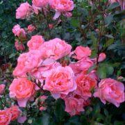 Роза жардин де франс