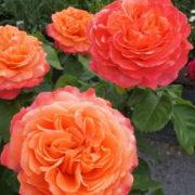 Роза Эмильен Гийо