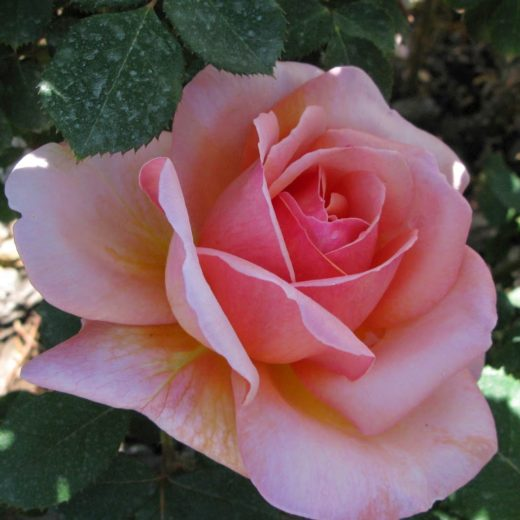 Роза  Бель де Сеньор
