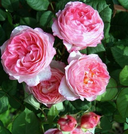 Роза Мадам де Сталь