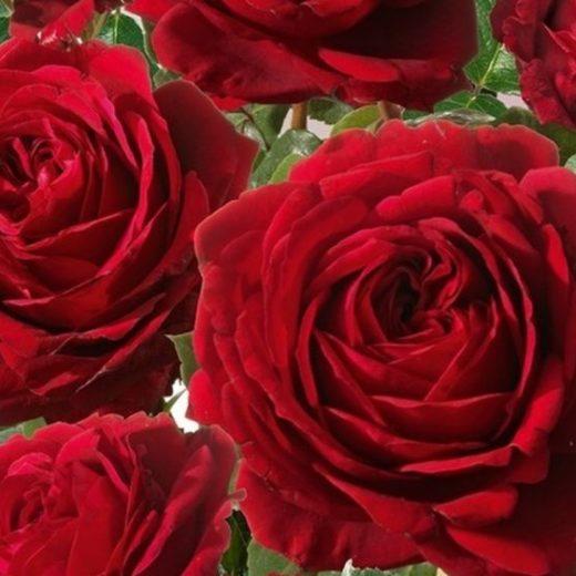 Роза  Грандесса