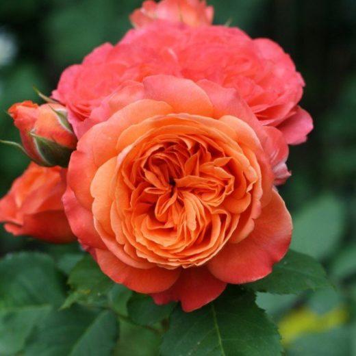 Роза  Эмильен
