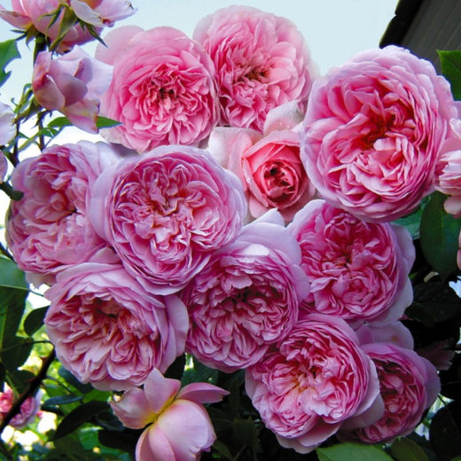 Роза  Соня Рикель