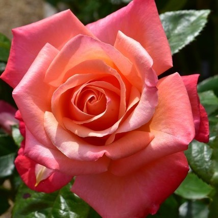 Роза  Сильвер джубили
