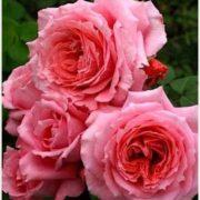 Роза Институт люмире