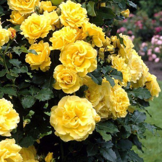 Роза  Дюна