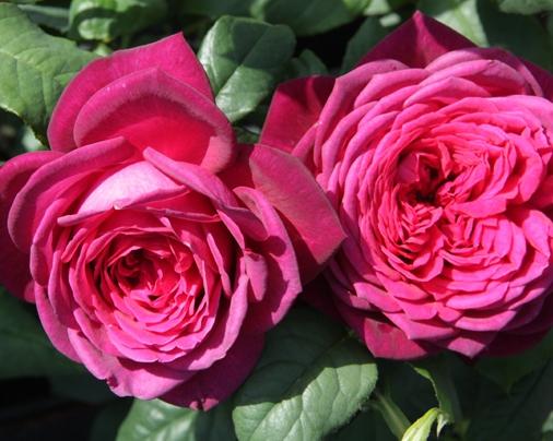 Роза  Гётте