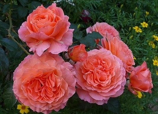 Роза Барок