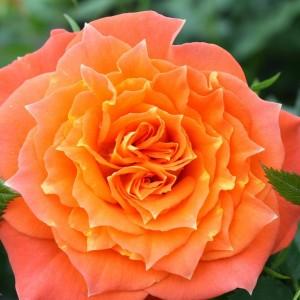 Роза Мандарин симфони