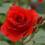 Роза Лилиана