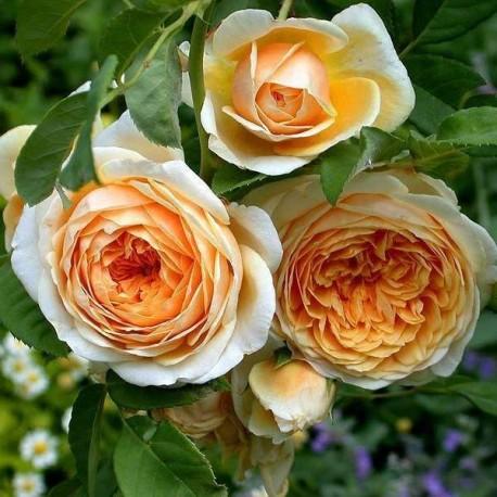 Роза  Джорджия