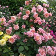 Роза Поль Бокюз