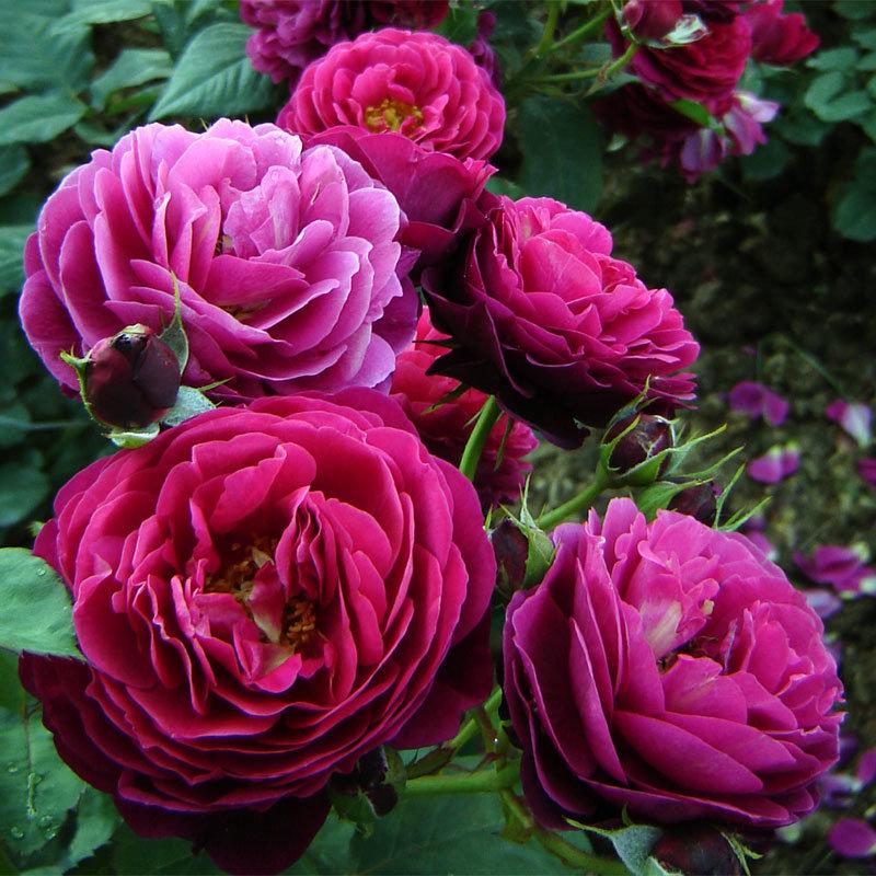 Роза Бисантенэр де Гийо