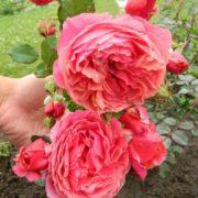 Роза Ладюре