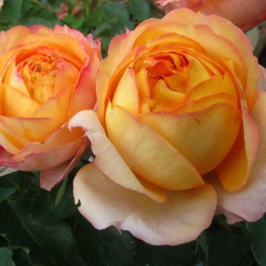 1 5 520x520 Саженцы роз недорого