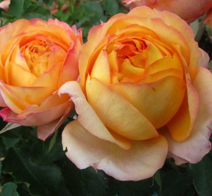 Роза Бейби Романтик