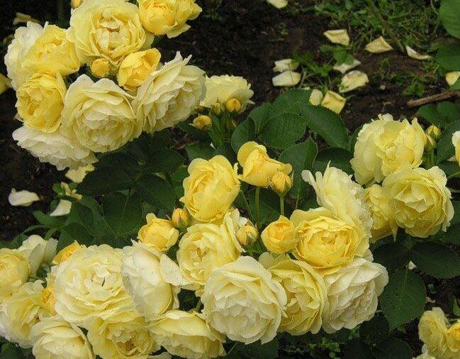 Роза Комтесс дю Барри