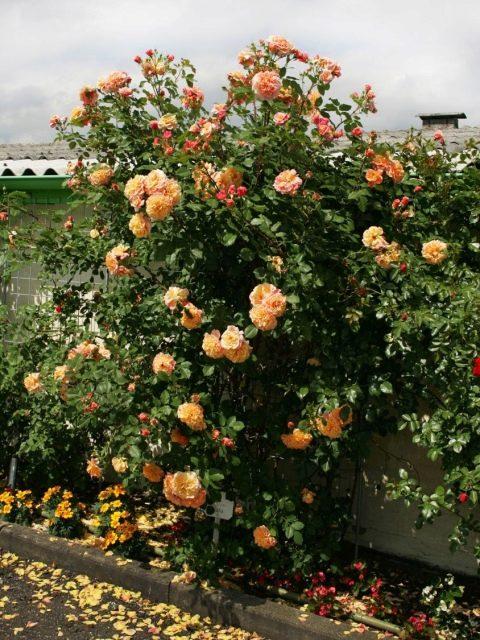Роза Аллоха