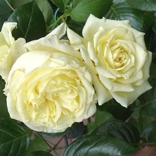 Роза  Эльф