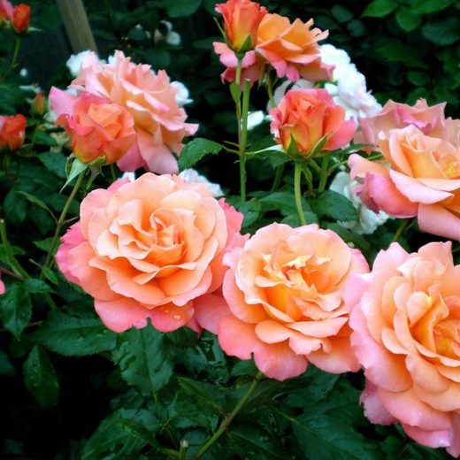Роза  Тад Люмдейл