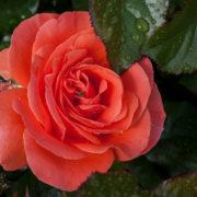 Роза Караловый закат