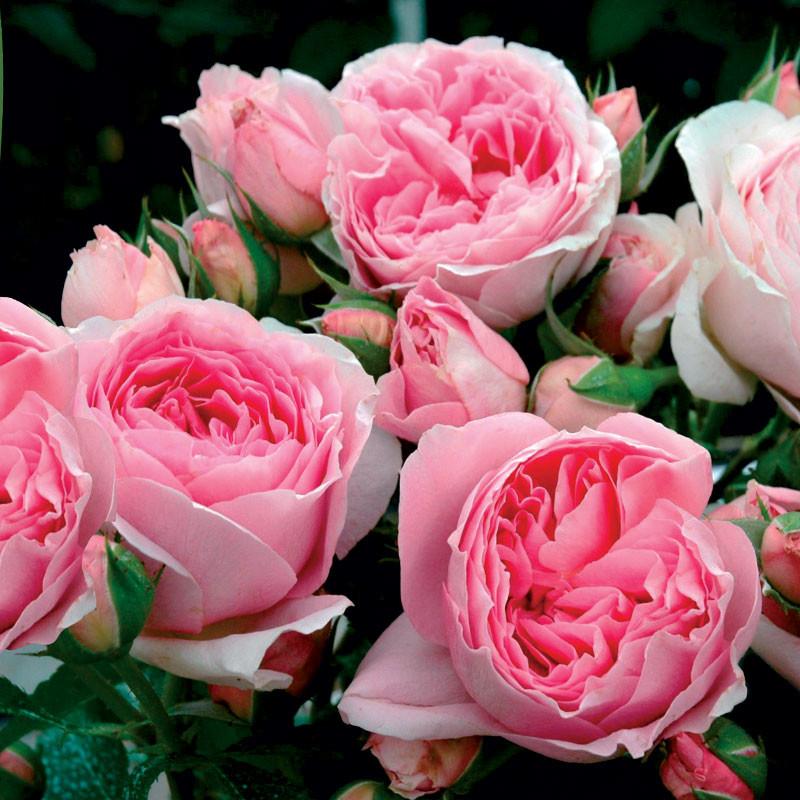Роза Делия