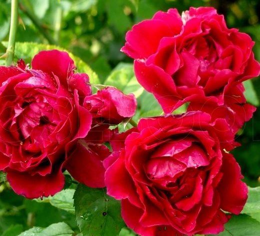 Роза  Дино де Лаурентис
