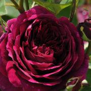 Роза Зе принц
