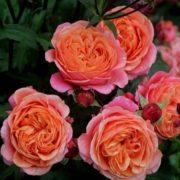 Роза Мери Энн
