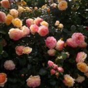 Роза Розаман Жанон