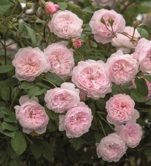 Роза Святой Свихам