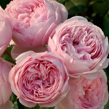 Роза Миранда