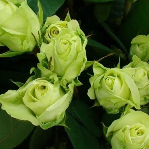 Роза  Бордюрная зеленая
