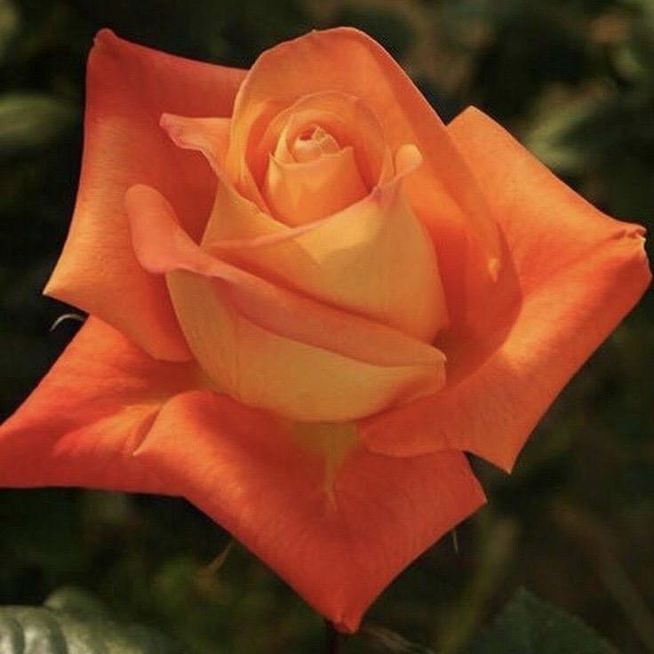 Роза Вуду