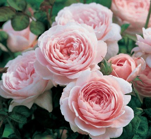 Роза Розалинда
