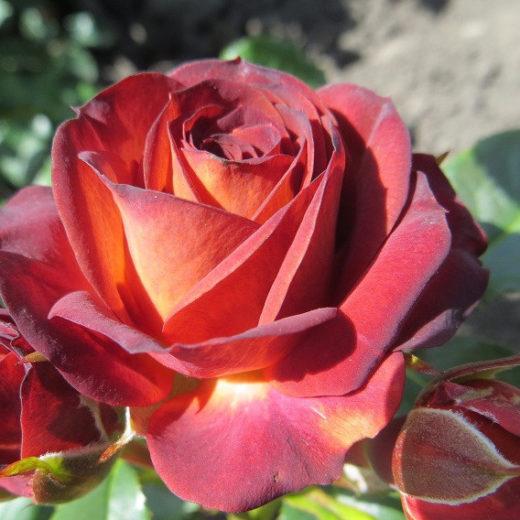 Роза  Браун шугер