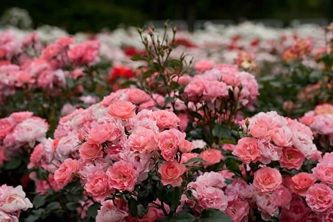 Роза Жардэн де Франс
