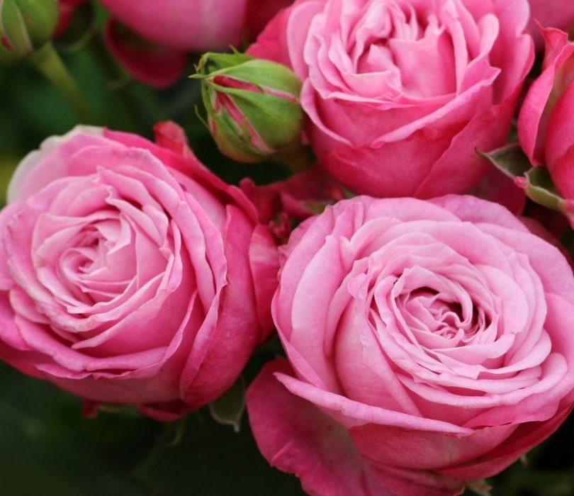 Роза Леди бомбастик