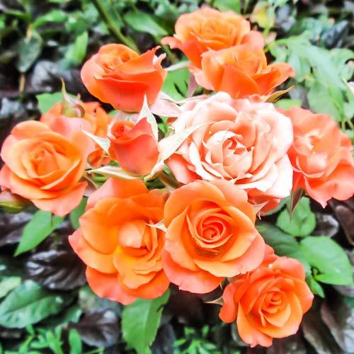 Роза Спрей персиковый