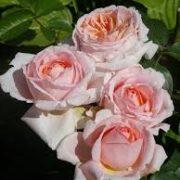 Роза Андре Ле Нотр