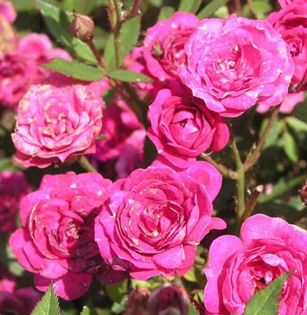 Роза  Перла де Альканада