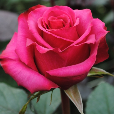Роза  Джакаранда
